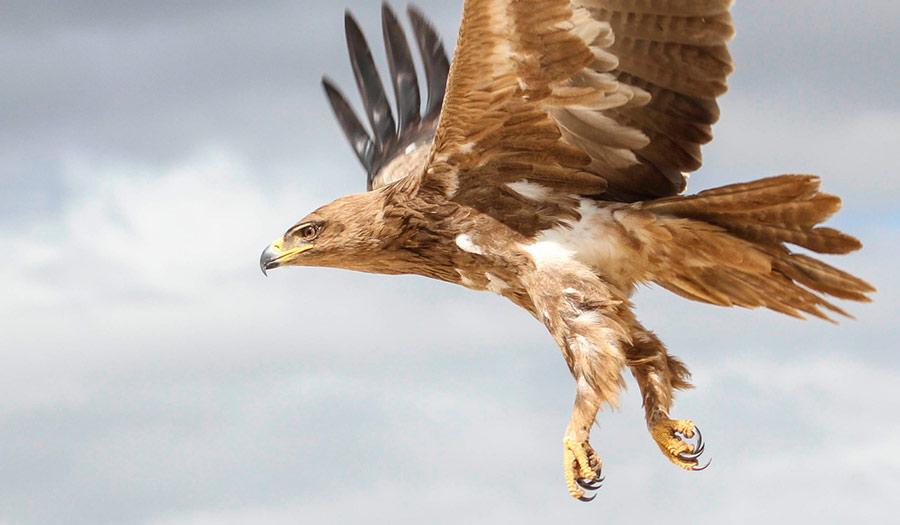 Golden_Eagle_Flying-apha-210903.jpg