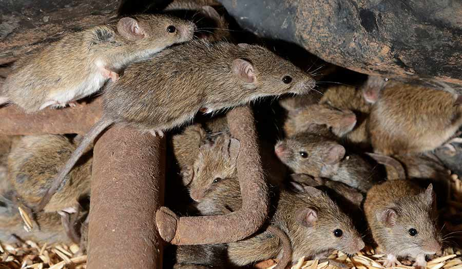 Plague_of_Mice-apha-210528.jpg