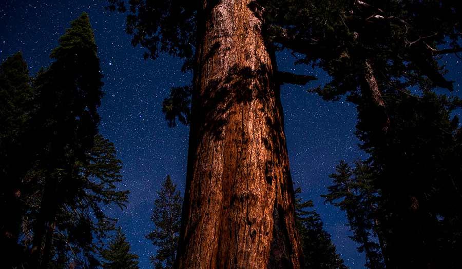 Sequoia_Tree_Night-apha-210604.jpg
