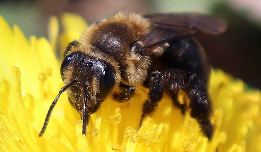 bee_pollinating_newhampshire-apha-190418.jpg