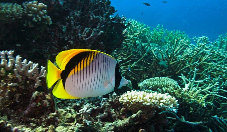 butterflyfish_greatbarrier_reef-apha-180424.jpg