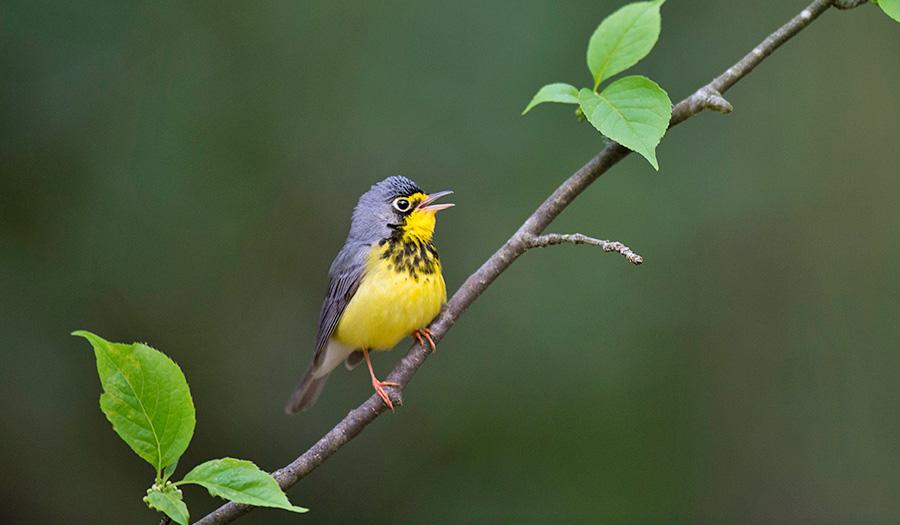 canada_warbler_bird-apha-190924.jpg