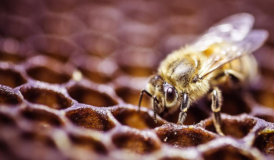 honey_bee_comb-apha-180703.jpg