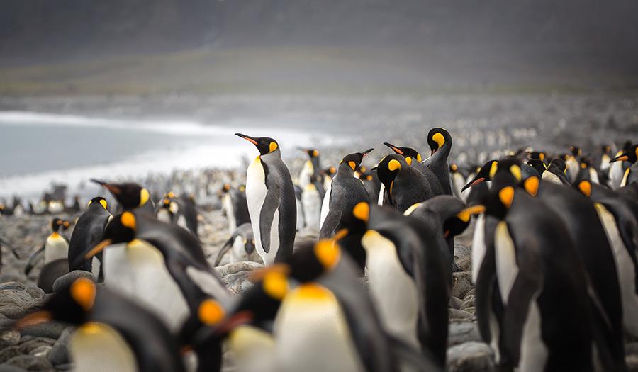 kingpenguins_southgeorgia_island-apha-180801.jpg