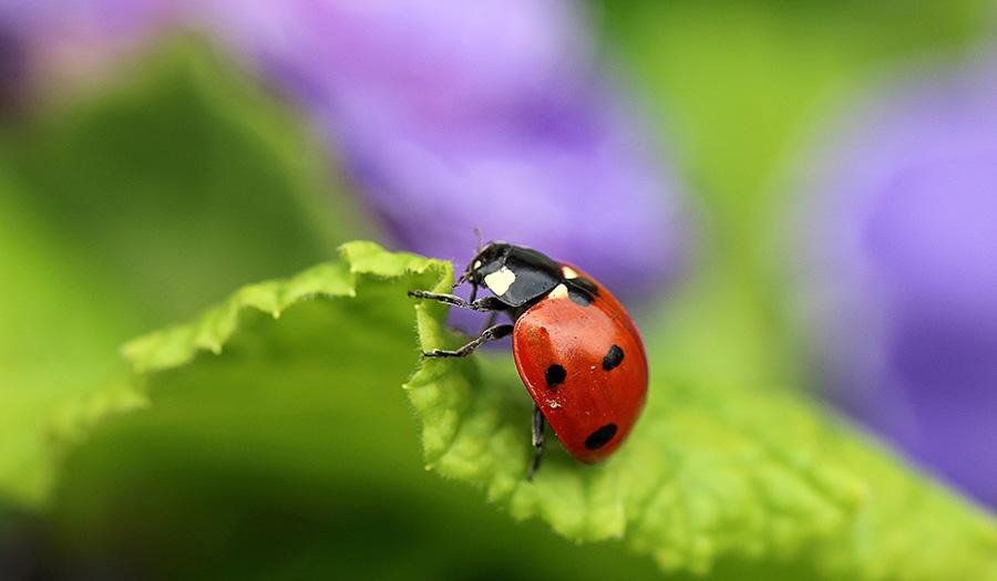 ladybug_on_leaf-apha-180920.jpg