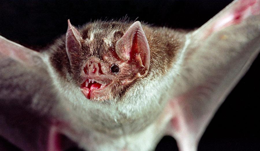 vampire_bat_wings-apha-190221.jpg