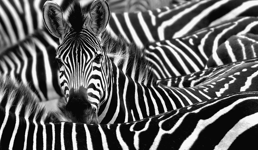 zebra_stripes_crowd-apha-190322.jpg